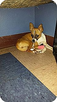 Chihuahua Mix Dog for adoption in Houston, Texas - Button