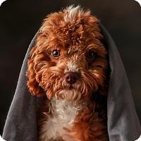 Adopt A Pet :: *Bobbie Sue - PENDING - Westport, CT