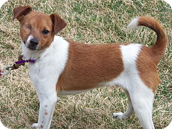 Chihuahua/Terrier (Unknown Type, Small) Mix Dog for adoption in Owatonna, Minnesota - Jack