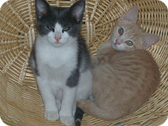 Russian Blue Kitten for adoption in Buford, Georgia - Jason Aldean