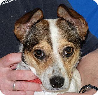Parson Russell Terrier Mix Dog for adoption in Spokane, Washington - Cinderella