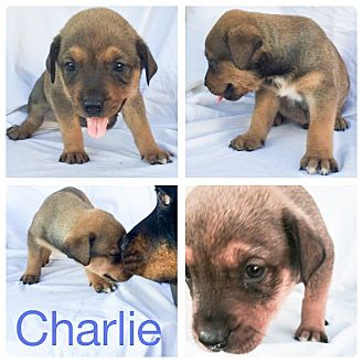 Rottweiler Mix Puppy for adoption in Dallas, Texas - Charlie