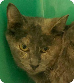 Calico Cat for adoption in Maquoketa, Iowa - Scarlet