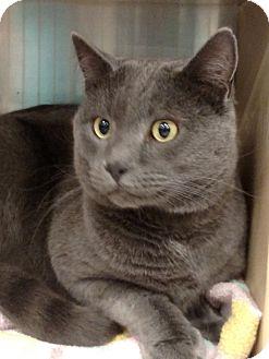 Russian Blue Cat for adoption in Pueblo West, Colorado - Elvis