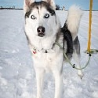 Siberian Husky Mix Dog for adoption in High River, Alberta - Naomi