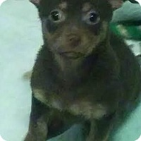 Adopt A Pet :: Maple - House Springs, MO