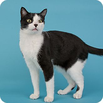 Domestic Shorthair Cat for adoption in Wilmington, Delaware - Carlos