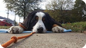 Bernese Mountain Dog Dog for adoption in Grafton, New Hampshire - Moose