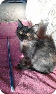 Domestic Longhair Kitten for adoption in Huntley, Illinois - Kiki