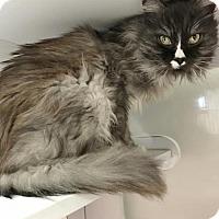 Adopt A Pet :: Squeaky - Shaftsbury, VT