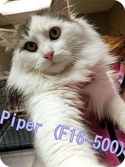 Domestic Longhair Cat for adoption in Tiffin, Ohio - Piper