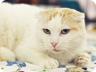 Scottish Fold Cat for adoption in Great Falls, Montana - Thor