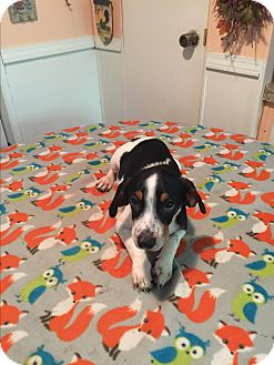 Border Collie/Beagle Mix Puppy for adoption in Kittery, Maine - Weston