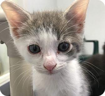 Domestic Shorthair Kitten for adoption in Hendersonville, North Carolina - Ande