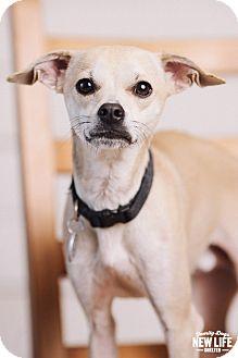 Italian Greyhound Mix Dog for adoption in Portland, Oregon - Jacks