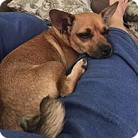Adopt A Pet :: Cookie RBF - Washington, DC