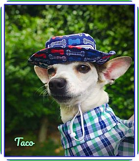 Chihuahua/Dachshund Mix Dog for adoption in Seattle, Washington - Taco:  The Perfect Chihuahua