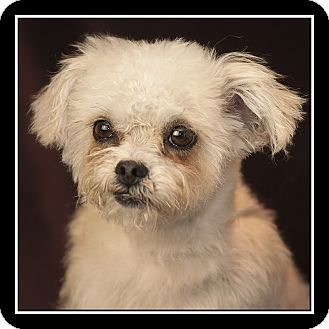 Shih Tzu/Poodle (Miniature) Mix Dog for adoption in San Diego, California - Ellie Mae