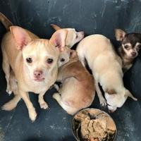 Adopt A Pet :: 35326794 - West Monroe, LA