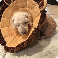 Adopt A Pet :: Milton 435667 - San Antonio, TX