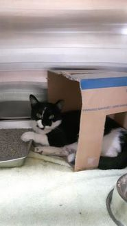 Domestic Shorthair/Domestic Shorthair Mix Cat for adoption in Simcoe, Ontario - Stink