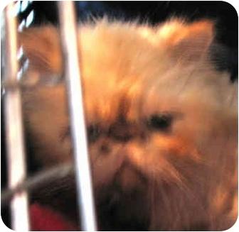 Himalayan Cat for adoption in Davis, California - Wakeman