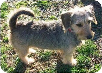 Schnauzer (Miniature)/Terrier (Unknown Type, Small) Mix Dog for adoption in Greensburg, Pennsylvania - Mitzi-Pending