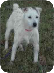 Jack Russell Terrier Mix Dog for adoption in Houston, Texas - Cassie in Houston