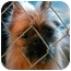 Photo 1 - Brussels Griffon Dog for adoption in Greenville, Illinois - Tarzan