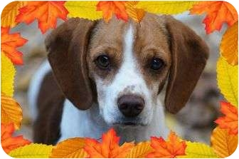 Beagle Mix Dog for adoption in Spring Valley, New York - Pumpkin