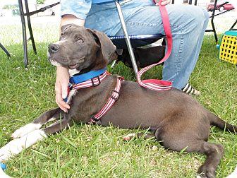 American Pit Bull Terrier/Labrador Retriever Mix Dog for adoption in North Wilkesboro, North Carolina - Emmit