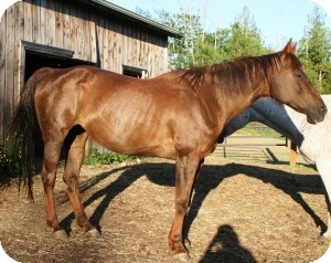 Quarterhorse Mix for adoption in Quilcene, Washington - Diva