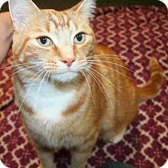 Domestic Shorthair Cat for adoption in Edmonton, Alberta - Anthony