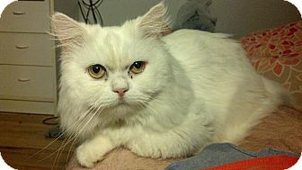 Himalayan Cat for adoption in Island Park, New York - Snowball