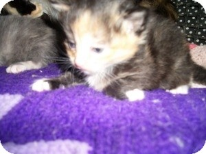 Calico Kitten for adoption in Santa Monica, California - Lulu
