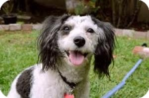 Maltese/Poodle (Miniature) Mix Dog for adoption in Encino, California - Mushu