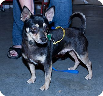 Chihuahua Mix Dog for adoption in Loudonville, New York - McCarty