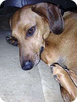 Dachshund Mix Dog for adoption in Homer, New York - Cocoa
