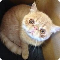 Adopt A Pet :: Pumpkin - Beverly Hills, CA