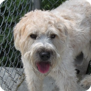 Wheaten Terrier Mix Dog for adoption in Naperville, Illinois - Oliver