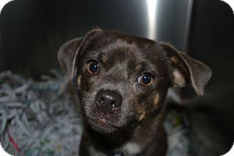 Chihuahua Mix Dog for adoption in Edwardsville, Illinois - Chico