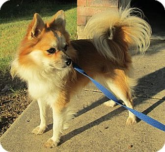 Pomeranian Mix Dog for adoption in Dallas, Texas - Lenny