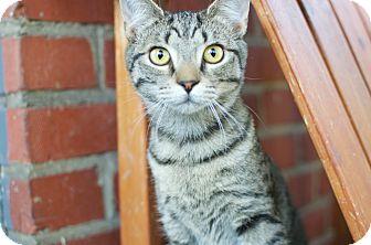Domestic Shorthair Kitten for adoption in Richmond, Virginia - Tink