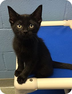 Domestic Mediumhair Kitten for adoption in Germantown, Tennessee - R2D2
