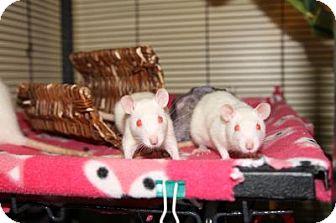 Rat for adoption in St. Paul, Minnesota - Dazzler