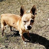 Chihuahua Dog for adoption in Maricopa, Arizona - Kip