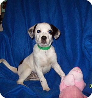 Rat Terrier Mix Dog for adoption in Sparta, Illinois - Lucy