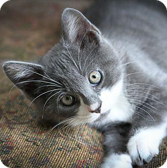 Domestic Shorthair Kitten for adoption in Brimfield, Massachusetts - Henry