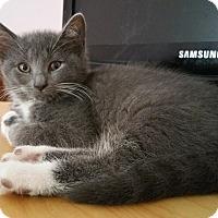 Domestic Shorthair Cat for adoption in Philadelphia, Pennsylvania - Daisy