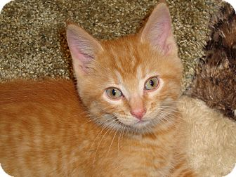 Domestic Shorthair Kitten for adoption in Fort Atkinson, Wisconsin - Biddy
